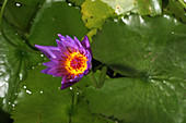 Waterlily opening (part of a series)