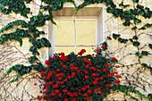 Vine and Flowers Around a Window