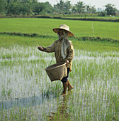 Woman fertilizing rice paddy,Thailand