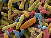 Bacteria Carried By Fruit Flies