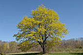 Maple Tree in Spring