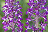 Lax-flowered Orchid