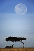 Full Moon Over an Acacia Tree