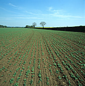 Young pea crop