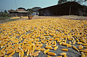 'Corn cobs drying,Thailand'