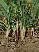 Common root rot (Cochliobolus sativus)