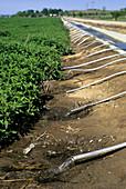Furrow irrigation of a mint field