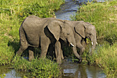 Pair of African Elephants Feeding
