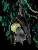 Hammer-headed Bat