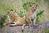 Lion Cubs on a Rock