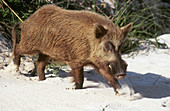 Feral Hog in the Bahamas