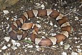 Trans-Pecos copperhead snake