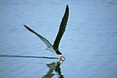 Black Skimmer (Rynchops niger) skimming