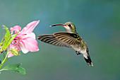 Broad-billed Hummingbird at flower