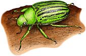 Glorious Beetle