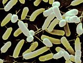 Gluconacetobacter Bacteria SEM