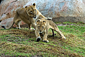 Lioness (Panthera leo) playing with cub