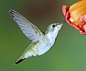 Ruby-throated Hummingbird female at flowe