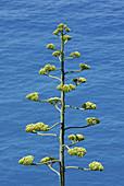 Agave americana,Century Plant