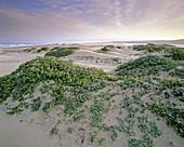 Blooming Sea Fig