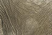 African Elephant's Skin