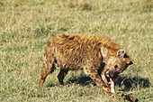 Spotted Hyena scavenging