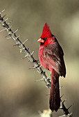 Northern Cardinal on Ocotillo