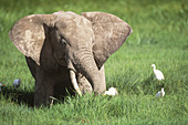 Elephant and Cattle Egrets