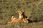 African Lion cubs (Panthera leo) playing