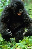 Angry Mountain Gorilla