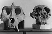 Gorilla and Paranthropus Skulls