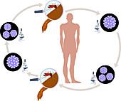 Dengue Fever Lifecycle