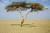 The Tree of Tenere (Acacia sp.),Niger