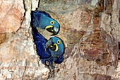 Hyacinth Macaws at rock nest