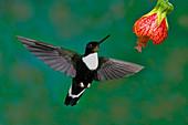 Collard Inca Hummngbird