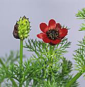 Pheasants eye flowers