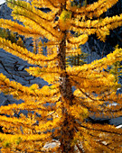 Larch Tree Closeup
