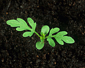 Common ragweed seedling