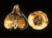 Basal rot damage to freesia corms