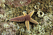 Northern Seastar