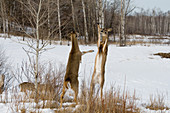 White-tailed Deer Sparring