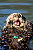 Tagged Sea Otter