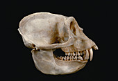Pied Colobus Monkey skull