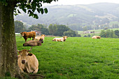 Cattle in Rural Cantabria,Spain