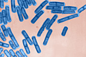 Bacillus cereus,LM