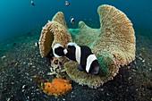 Saddleback Anemonefish Guards Eggs