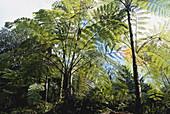 Tree Ferns in El Yunque