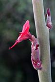 Slipper Plant,Baja