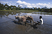 Ploughing Rice Paddy,Indonesia