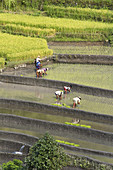 Planting Rice,Indonesia
